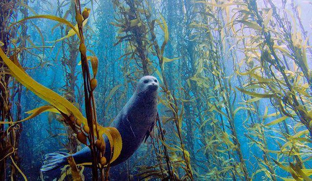 Semarnat promueve protección de bosques submarinos en el país (AM Querétaro)