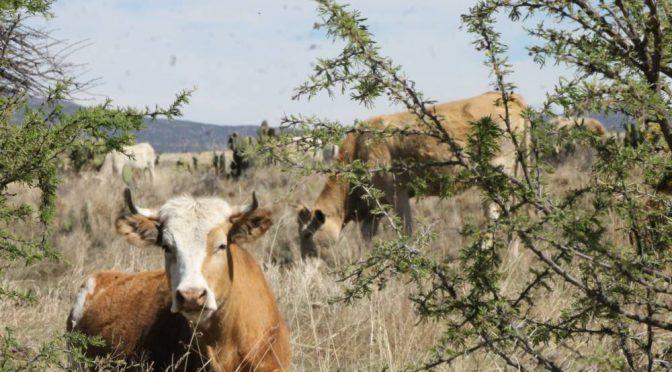 Zacatecas: Peligra ganado por falta de agua (NTR Zacatecas)