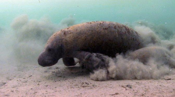 Plomo, aluminio y cadmio en agua de Tabasco han matado ya a 70 manatíes, alertan ambientalistas (Sin Embargo)