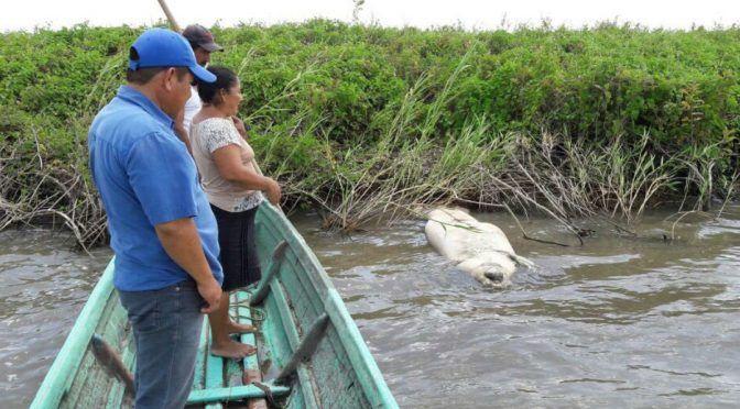 Villahermosa: Hallan altos niveles de cadmio, plomo y aluminio en aguas de Los Bitzales, donde mueren manatíes (Proceso)