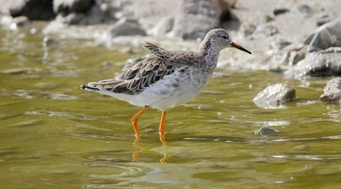 1.802 parejas de aves acuáticas de 14 especies crían en el Parque Regional de las Salinas en la pasada primavera (Ecoticias)