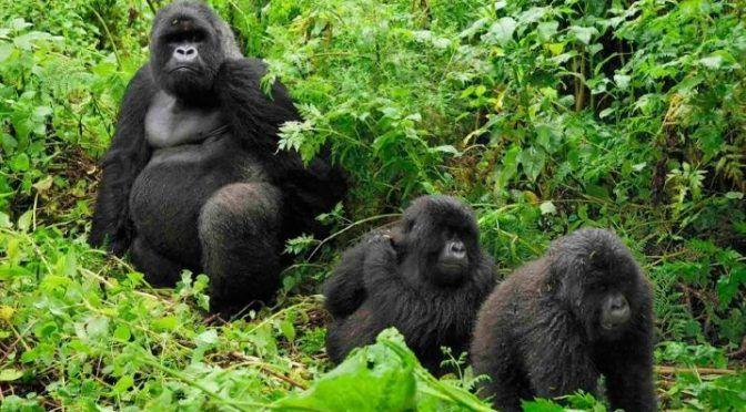 Gorilas de montaña en peligro (La Verdad)