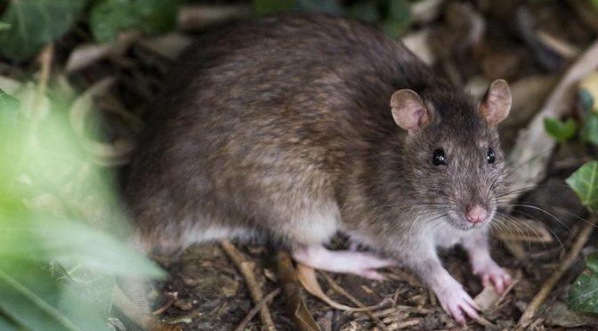 Plaga de ratas inunda ciudades debido al cambio climático (Grupo Marmor)