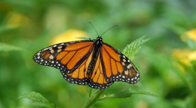 Preservando la Reserva de la Biósfera Mariposa Monarca en México (Ecoticias)
