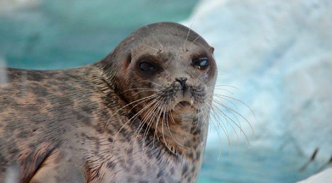 Las focas anilladas del Ártico amenaza por la falta de nieve (Ecoticias)