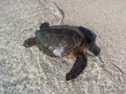 Éxito del programa de reintroducción de la tortuga verde en las islas Caimán (Noticias de la Ciencia)
