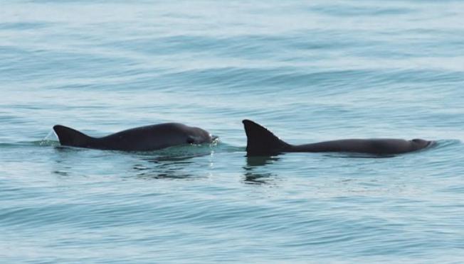 Empresarios quintanarroenses apoyan a la conservación de la vaquita marina (La Jornada)