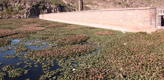 Costará 7 mdp retirar lirio de presa San José (Pulso)