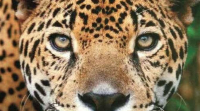 Estamos en el momento clave para evitar la desaparición del jaguar: Carlos López (La Jornada Maya)