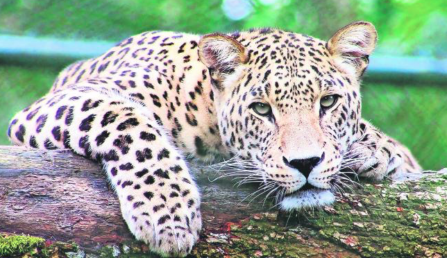 Más de 2 mil jaguares en peligro por el Tren Maya (El Universal)