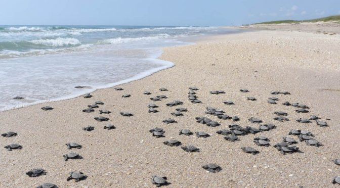 Van politécnicos por rescate de tortuga lora (Quadrantin)