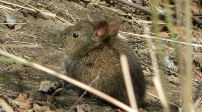 Teporingo, el conejo mexicano que lucha por sobrevivir (Vértigo Político)