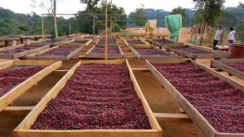 Más del 50% de especies de café silvestre, en peligro (La Jornada)