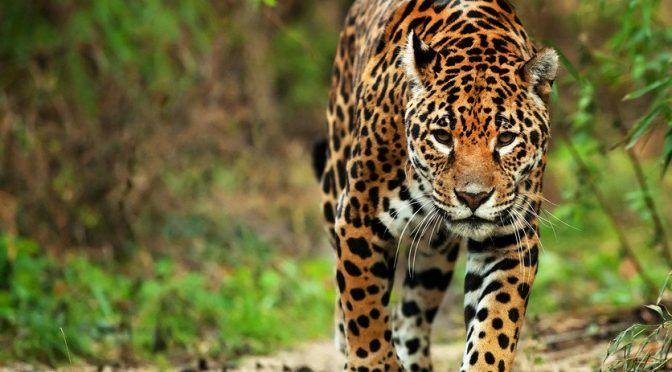 Miles de jaguares podrían ser víctimas del Tren Maya según expertos