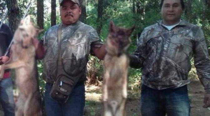 Acusan a regidor de Áporo, Michoacán de cazar lobos; piden a Semarnat indague el caso (La Razón)