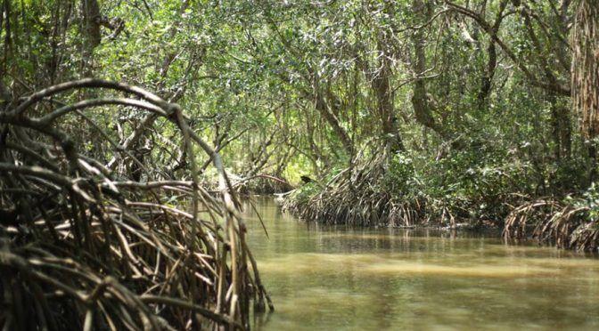 Se pierden los manglares en Veracruz (El Dictamen)