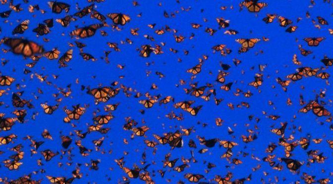 Solo queda 1% de población de mariposas monarca (Regeneración)