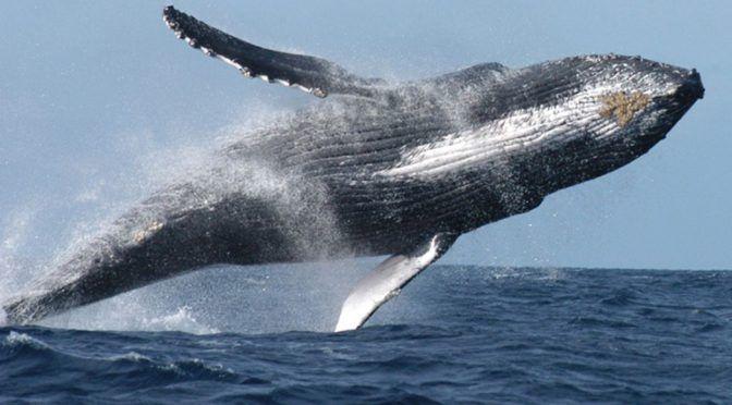 Ecoturismo poco regulado pone en riesgo a ballenas en mares mexicanos: UNAM (El Financiero)