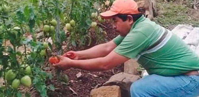Con poca agua logran cosecha de jitomates (Pulso)