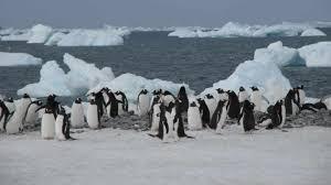 Disminuyen los pingüinos por el cambio climático (Diario de Yucatan)
