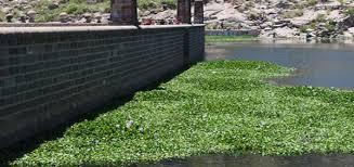 Interapas participa en trabajos de retiro de lirio acuático en presa San José (El Exprés)