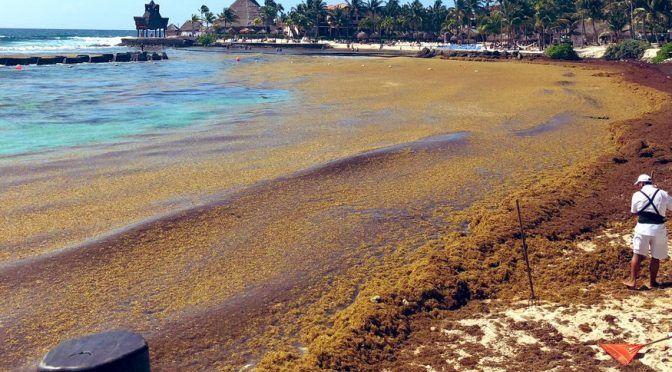 Hacia un manejo adecuado del sargazo que afecta al Caribe Mexicano (El Dictamen)