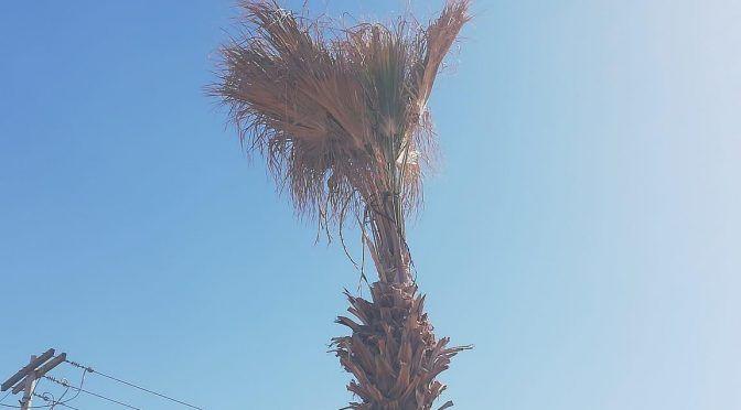 Coahuila: Ciudadanos denuncian falta de agua para palmas de Torreón (Multimedios)