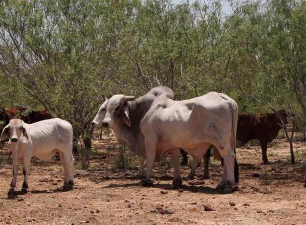 Tamaulipas: Reconfortan lluvias al sector ganadero. Dejan abundante captación de agua (El Mañana)
