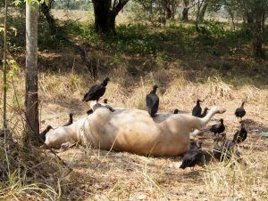 Tamaulipas: Empieza a morir el ganado en Altamira por represas sin agua (gaceta.mx)