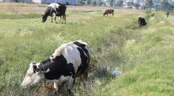 Tlaxcala: Ganado, en riesgo por contaminación (El Sol de Tlaxcala)