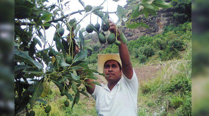 Morelos: reclaman derecho al agua productores de aguacate (Diario de Morelos)