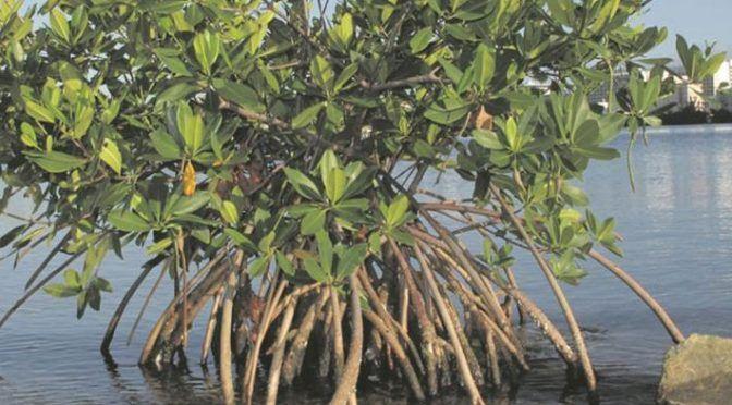 Campeche: Mangle enferma por contaminación del agua, advierte la Conanp (La Jornada)