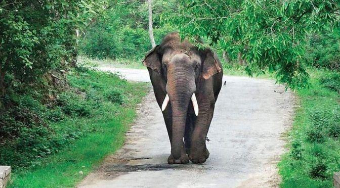 India: Un elefante mata a pisadas a ocho personas cuando buscaba agua (La noticias diarias)