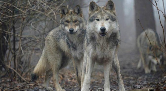 México: El regreso del lobo gris al suelo mexicano podría hacer que las lluvias también vuelvan (mongabay)