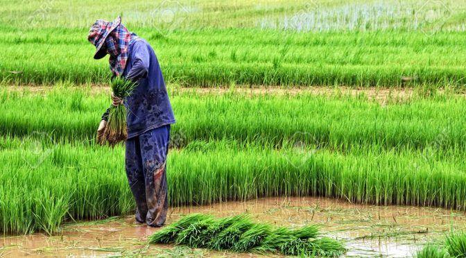 Campeche: Apresurada cosecha de arroz (inforural)