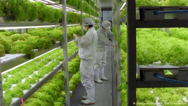 Monterrey: Cultivan lechugas en campo vertical (El norte)