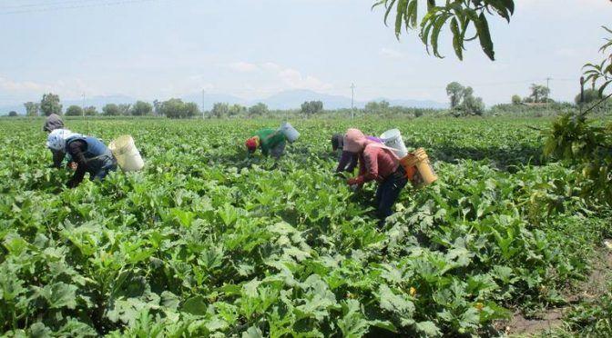 Hidalgo: cultivan maíz y frijol con aguas negras en Valle del Mezquital (El Sol de México)