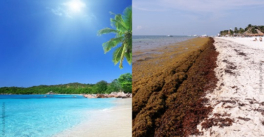 CDMX: El sargazo, gran riesgo para el Mar Caribe (Gaceta UNAM)