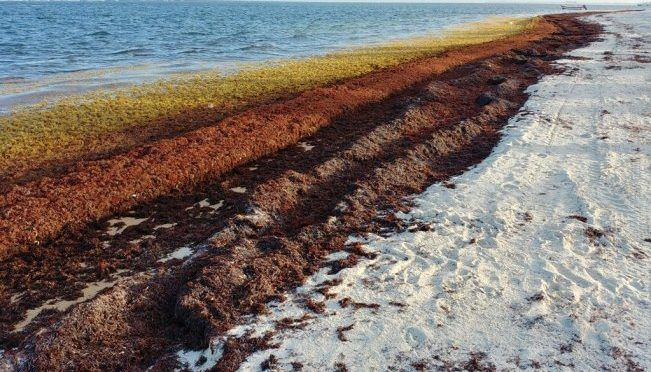 Cancún: Descomposición de sargazo en Caribe Mexicano mató a organismos de 78 especies de fauna marina: estudio (El Universal)
