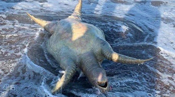 Sonora: tortuga, lobo marino y peces muertos tras derrame tóxico de Grupo México (Excelsior)
