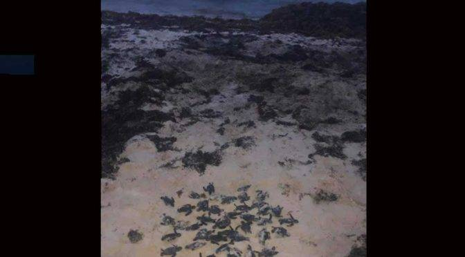 CDMX: Muerte masiva de tortugas en Sian Ka´an por sargazo (Excelsior)