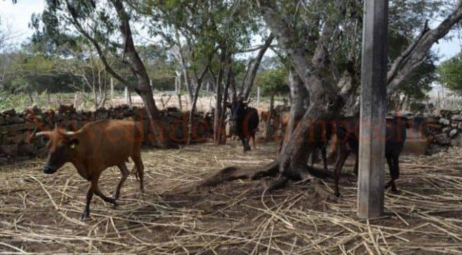 Campeche: Clima golpea agricultura y ganadería (Novedades Campeche)