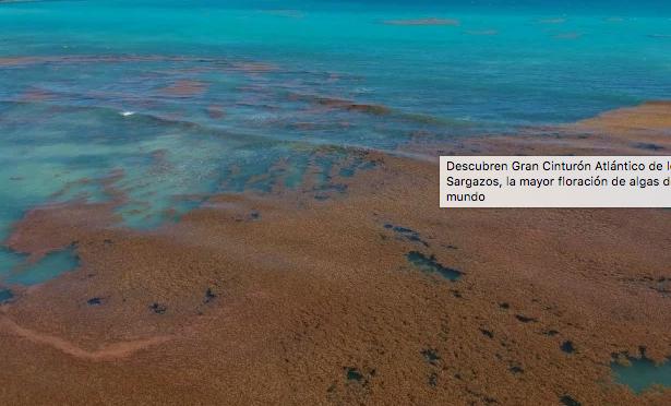Madrid: Descubren Gran Cinturón Atlántico de los Sargazos, la mayor floración de algas del mundo (El Universal)