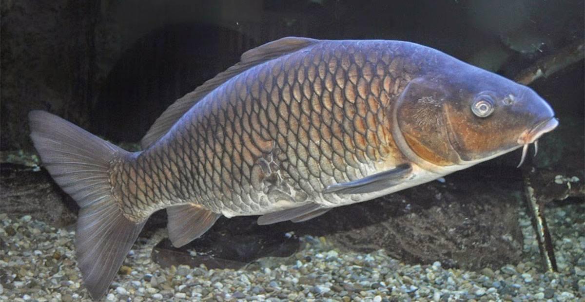 Guanajuato: Buscan limpiar Presa de la Olla con peces (periódico correo)