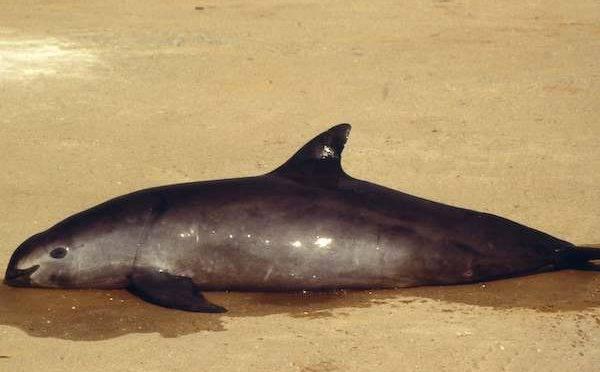 México: Vaquita marina, en riesgo por derrame de ácido sulfúrico de Grupo México en Mar de Cortés; daños ambientales (El Heraldo de México)