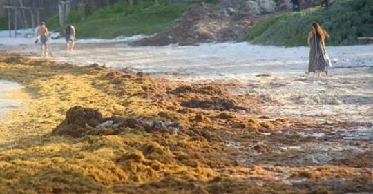 CDMX: Trabaja IPN en alertas tempranas sobre la llegada de sargazo (Once Noticias)