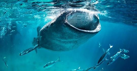 CDMX: Sumando esfuerzos por el Tiburón Ballena (Fundación Carlos Slim)