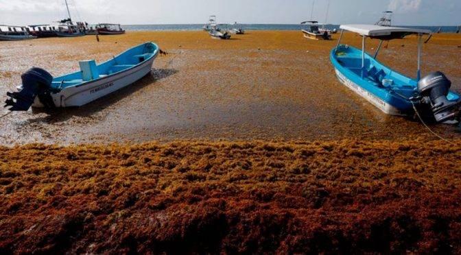 México: Cambio climático y desagüe de aguas negras en el Caribe aumenta el sargazo en playas (Xeva)