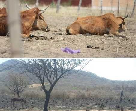 Durango: Sequía provoca estragos en ganadería y producción de frijol (Inforural)