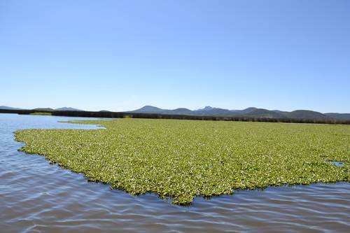 Hidalgo: Amenazan lirio y tule la laguna de Tecocomulco (La jornada)